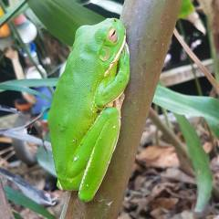 White Lipped Green Tree Frog Daintree River Cruise Private Charter