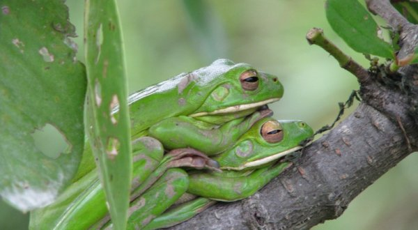 2 Day 1 Night Daintree Rainforest White Lipped Green Tree Frogs