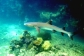 White-tip Reef Shark Photographed Photographed with Underwater Camera Hire Cairns