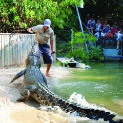 Wildlife Keeper hand feeding a Crocodile in Cairns