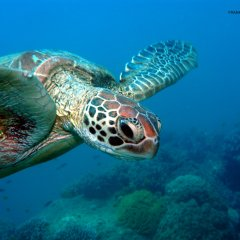 You may be lucky enough to see not one but a number of turtles on this popular Great Barrier Reef tour